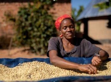 A klímaváltozás veszélyezteti a kávétermesztést!