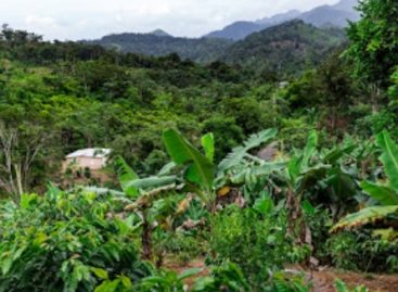 This is how Puerto Rico's coffee production is reborn after the devastation of hurricanes
