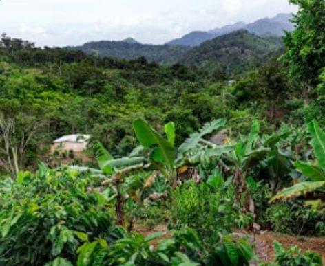 Így születik újjá Puerto Rico kávétermesztése a hurrikánok pusztítása után