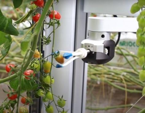 Ahol robotok szedik a paradicsomot
