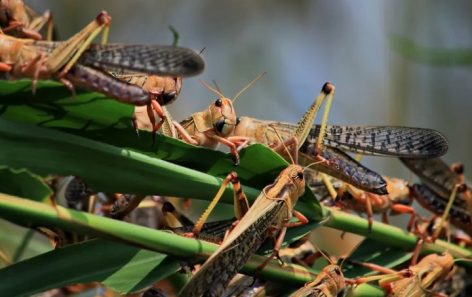 This is how East Africa can turn locusts invasion to advantage