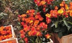 A vágott virágok forgalma legyőzte a koronavírust