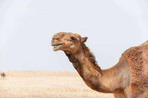 Camelicious: Tevetej – a sivatag fehér aranya