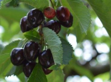 A szomolyai rövidszárú fekete cseresznye is védelmet kapott az unióban