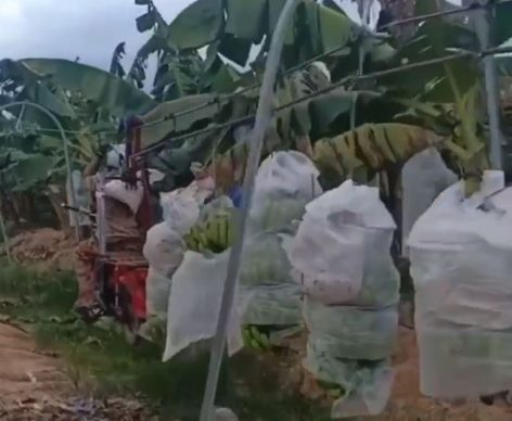 Solved problems at banana harvesting – Video of the day