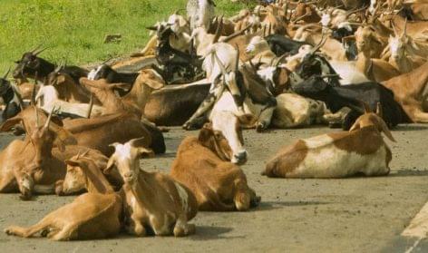 Évezredek óta isznak kecsketejet Kelet-Afrikában