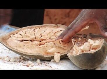 Baobab: az új szupergyümölcs VIDEÓ