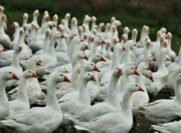 Jó hír: nem terjedt tovább a madárinfluenza!