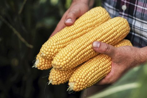 The Hungarian sweetcorn segment is firmly first in Europe