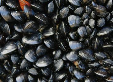 Kagylók segíthetnek a mikroműanyag eltüntetésében