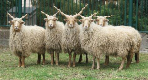 St. Dömötör Day sheep collection festival in the Hortobágy